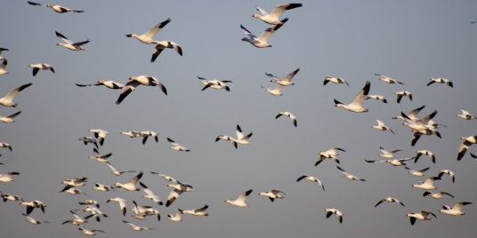 Berkeley-Pit-snowgeese